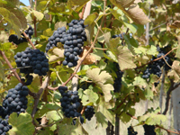 Grapes at Nashik - Escape Holiday plans for India